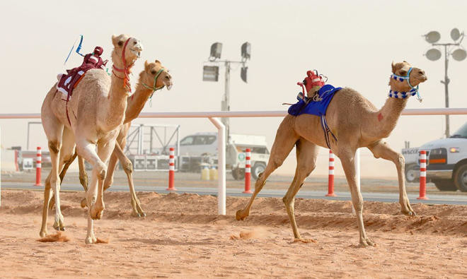First Woman Set To Participate In Saudi Camel Race